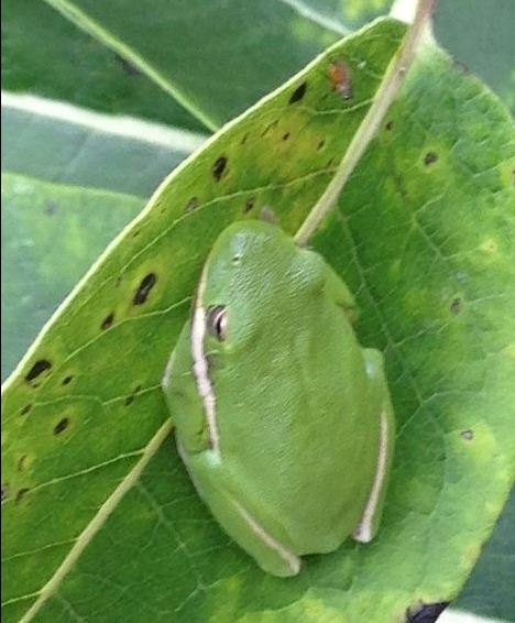 Green Treefrog on Common Milkweed