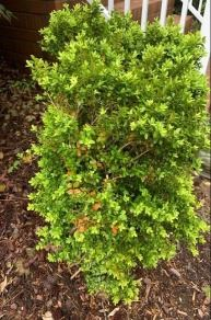 overall image of boxwood